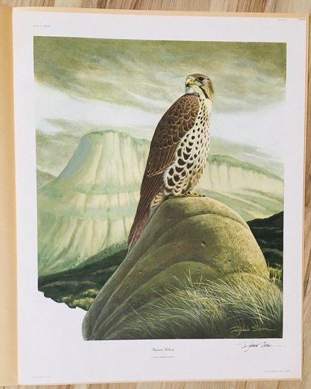 "1975 Richard Sloan - PRAIRIE FALCON - Signed - 22"" x 28"" FALCO MEXICANUS  333887"