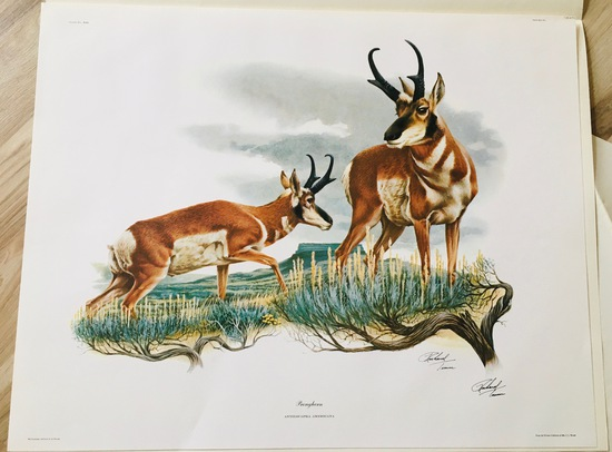 "1974 Richard Timm - PRONGHORN - Signed - 22"" x 28"" ANTILOCAPRA AMERICANA 135415"
