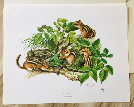 "1973 Richard Timm - EASTERN CHIPMUNK - Signed - 22"" x 28"" TAMIAS STRIATUS 051930"