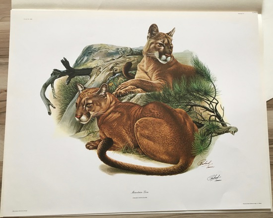"1974 Richard Timm - MOUNTAIN LION - Signed - 22"" x 28"" FELIS CONCOLOR 124679"