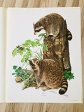"1972 Richard Timm - RACCOON - Signed -024475- 22"" x 28"" PROCYON LOTOR 024475"
