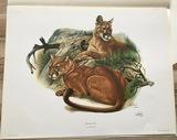 """1974 Richard Timm - MOUNTAIN LION - Signed - 22"""" x 28"""" FELIS CONCOLOR 124679"""