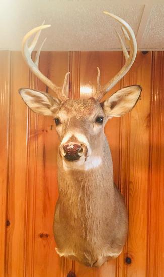 8 PT Buck Deer Head Mount 2001