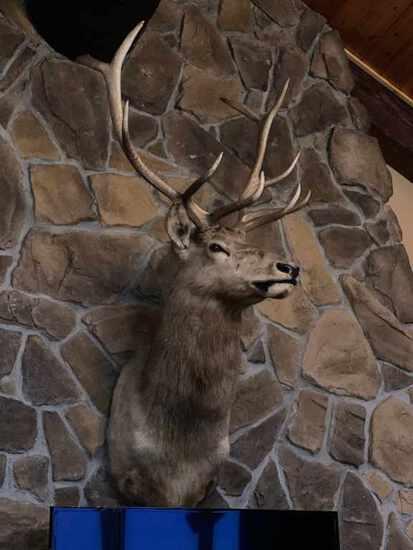 Elk Taxidermy Shoulder Mount