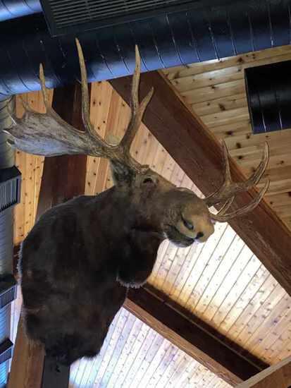 Moose Taxidermy Shoulder Mount.  Impressive