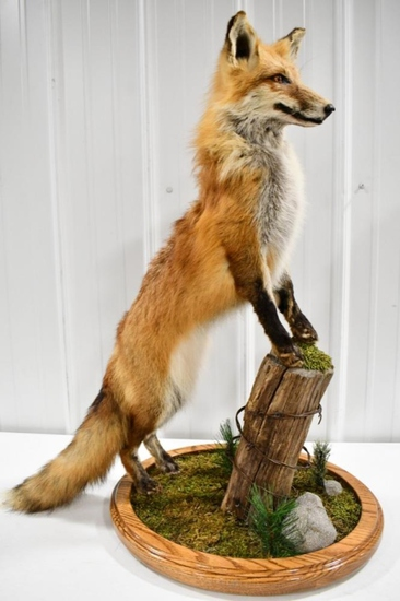 Full Body Red Fox On Fence Post Taxidermy Display