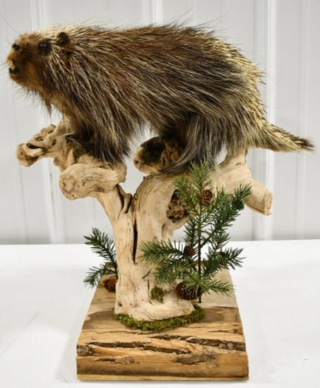 Full Body Porcupine Taxidermy Tabletop Display