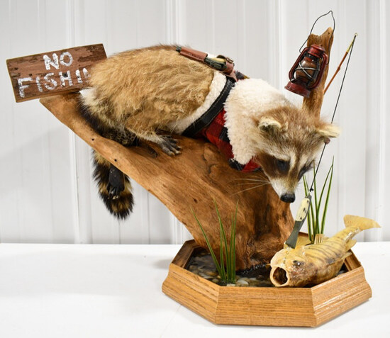 Full Body Racoon Fishing For Perch Display