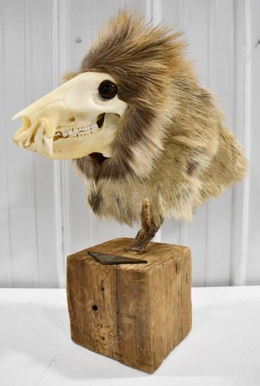 Fantasy Taxidermy Opossum Man Display