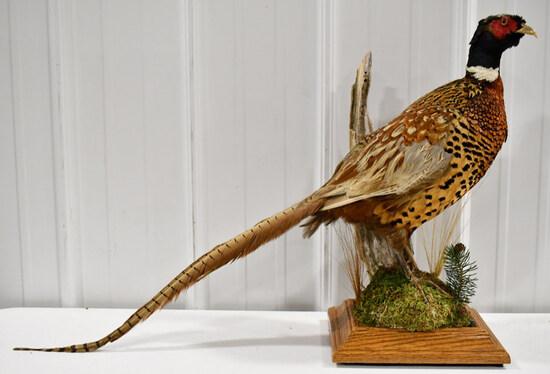 Full Body Standing Pheasant On Tabletop Base