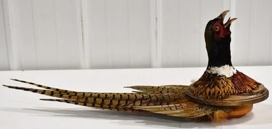 Taxidermy Pheasant Shoulder Mount w/ Tail Fan