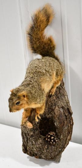 Full Body Fox Squirrel Wall Mount Display