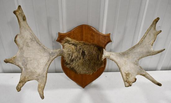 Moose Antler Rack On Wood Wall Mount Plaque