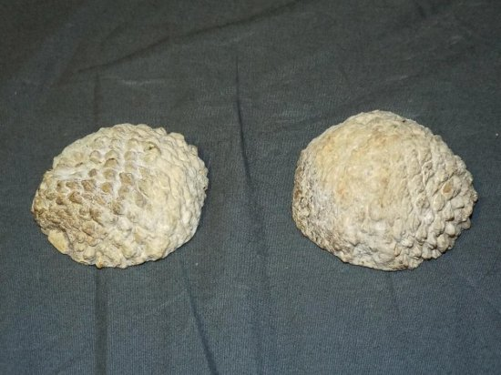 A Pair of Fossil Pine Cones