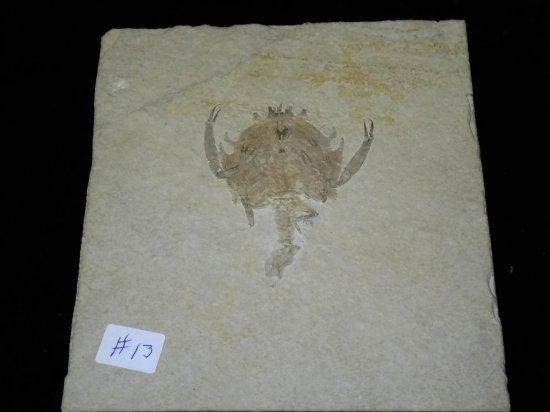 A Superb  Fossil Lobster