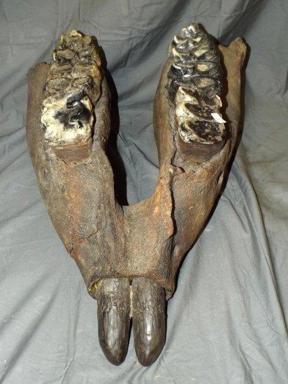 Mastodon Lower Jaw, Mammut Americanum