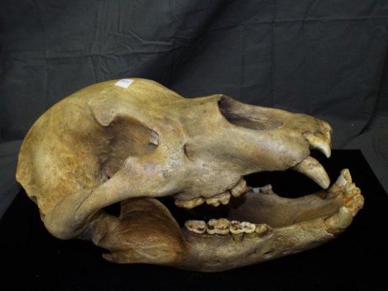 Prehistoric Cave Bear Skull, Ursus Spelaeus