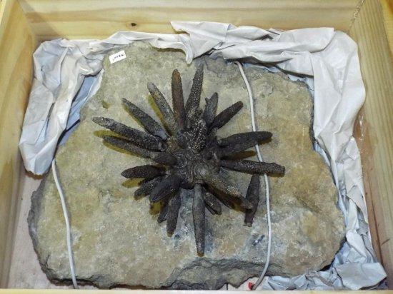 Fossil Sea Urchin