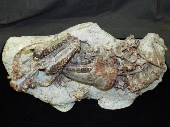 Oreodont Skeleton - Merycoidodon Culbertsoni