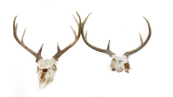 (2) Whitetail Deer Skull Mounts (European Style)