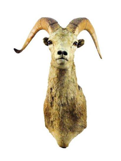 North American Big Horn Sheep Shoulder Mount