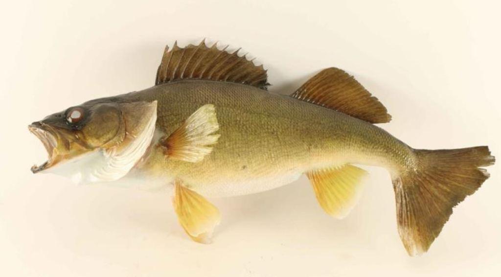 Full mounted Bass Fish