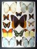 12x16 Frame of Caligo uranus (owl), 4 morphos, 2 orange tips (large).