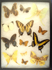 12x16 Frame of 12 North American misc. species, A. luna, C. angulifera, P. glaucus.
