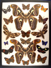 12x16 Frame of Attacus edwardsi pair from India surrounded by 16 misc. species.
