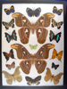 12x16 Frame of Atlas moths surrounded by 15 misc. species.