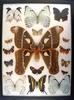 12x16 Frame of Attacus caesar, 3 white morphos, P. pilumnus, and 12 colorful species.