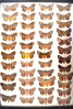 13x18 frame of 44 species of Catocala underwing moths.