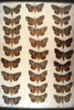 13x18 frame of 27 species of Catocala underwing moths.