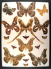 12x16 Frame of Copiopteryx derceto, bunaea alcinoe, Caligula zuleica, and Caligula thibeta.