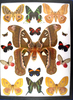 12x16 Frame of Attacus caesae, the largest atlas moth known.  African satunids, Urania.