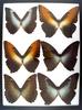 12x16 Frame of Morphos hecuba, cisseis, amphitrion, & hecuba-werneri: M&F.