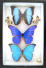 8x12 frame of 3 blue Morphos, deidamia, helena, and nestira.