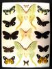 12x16 Frame of Actias selene large females, Erasmia pulchella, Erasmia sanguiflua.