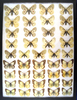 12x16 Frame of Parnassius & Pieridae species - white forms.  Scarce and expensive.