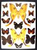 12x16 Frame of Argema mittrei Huge F The Comet Moth, and a dozen tropical butterflies.