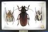 8x12 frame of Largest beetles: Titanus giganteus and 2 Goliath sp.