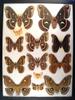 12x16 Frame of Cecropia, gloveri, promethea, angulifera, & polyphemus 1950's.