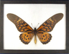 "6 1/2 x 8 1/2"" frame with Papilio Antimachus - Large African Butterfly."