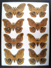 12x16 Frame of Telea polyphemus males from the 1930's.
