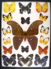12 x 16 frame of Atlas moth, dog face, pieridae species (8), Hypolimnas sp.
