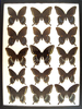 12 x 16 frame of Papilio troilus - Green Clouded Swallowtail.