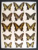 12 x 16 frame of Papilio Xuthus & its relatives from Japan, China, and Hawaii.