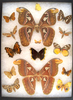 12 x 16 frame of Pair of Atlas Moths and misc. tropical species.
