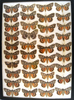 13 x 18 frame of 39 species of Catocala underwing moths.
