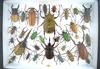12 x 16 frame of huge Rhinoceros beetles and colorful tropical species of beetles. LOCAL PICKUP ONLY